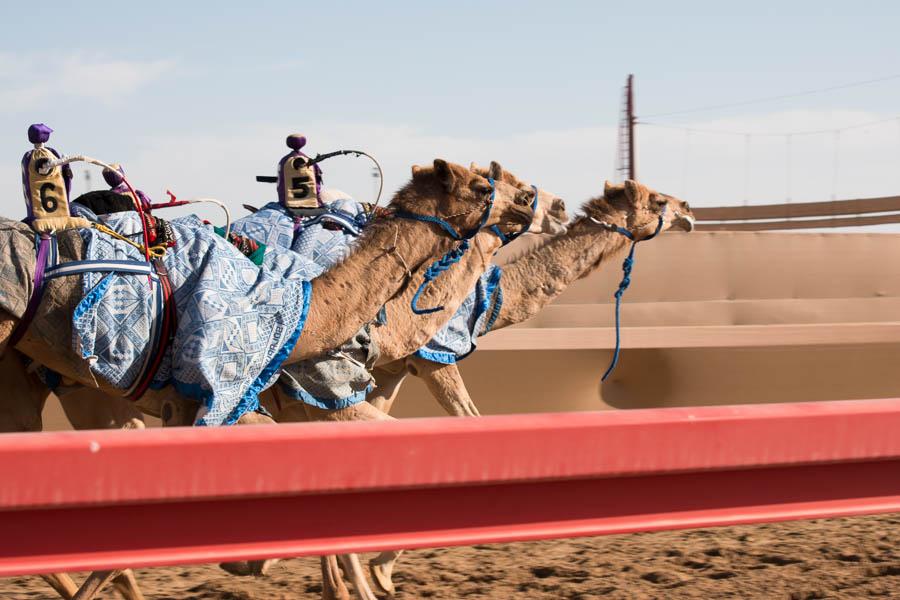 Kamele mit Roboter-Jockeys