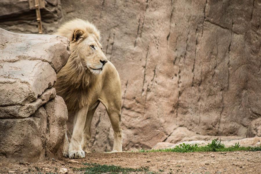 Afrikanischer weißer Löwe, Zoo Al Ain, Vereinigte Arabische Em